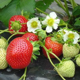 quand et comment planter des fraises miamissimmo. Black Bedroom Furniture Sets. Home Design Ideas